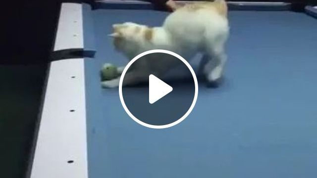 Cats are very good at snooker, animals & pets, cats, adorable, sports, snooker tables