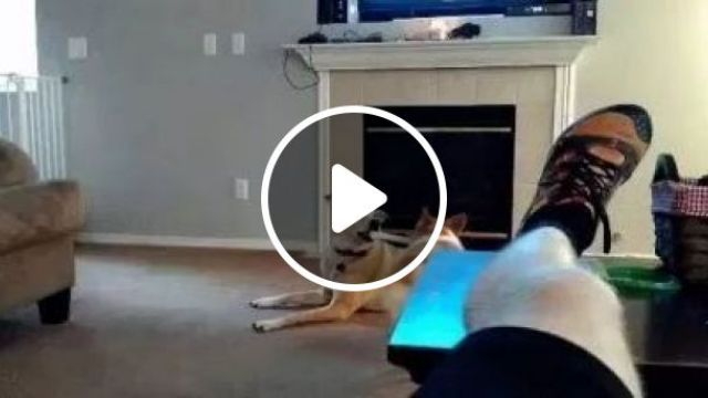 Dogs Play With Toys In Living Room - Video & GIFs   Animals & Pets, cute dogs, dog breeds, toys premium, living room furniture