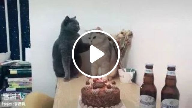 Cats are celebrated birthday in living room, Animals & Pets, cute cats, cat breeds, birthday organization, interior living room, luxury apartments