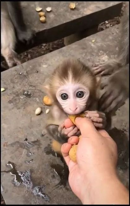 Mother monkey is guiding baby monkey to eat fruit