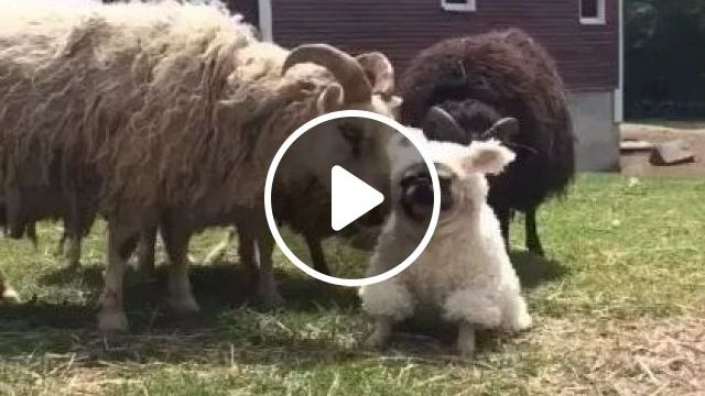 Dogs And Sheep Play Together On The Farm - Video & GIFs | Animals & Pets, cute dogs, smart dogs, sheep farms