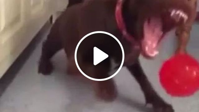 dog is trying to bite plastic ball in kitchen, animals & pets, dogs, dog breeds, plastic balls, kitchens, kitchen furniture
